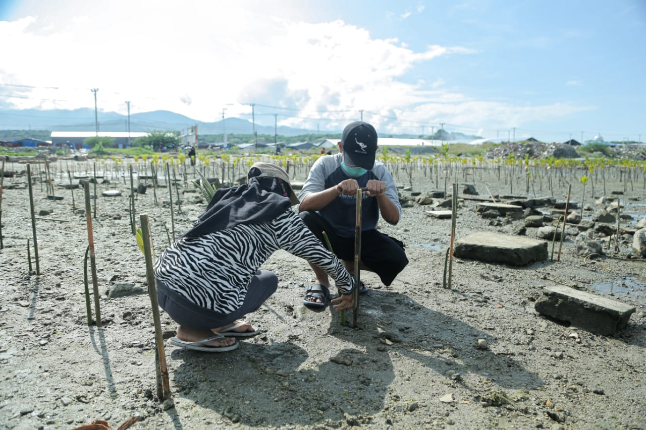 Keterangan Foto: Anggota komunitas magrovers saat sedang melakukan penananaman bibit mangrove di sepanjang pantai teluk Palu. (Foto Emil Estiawan)
